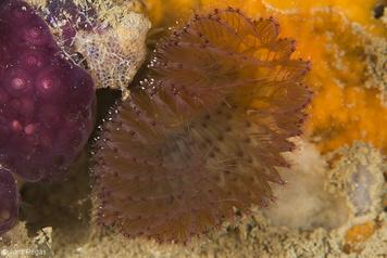Branchiomma bombyx