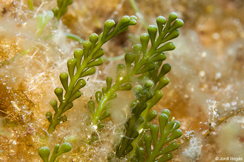 Caulerpa cylindracea