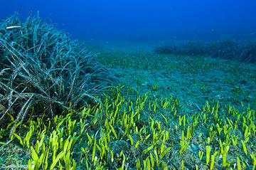 C. prolifera compite por el mismo espacio que P. oceanica