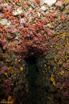 El coral crece preferentmente en los techos de las cuevas