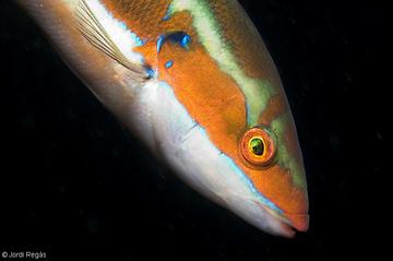 Un macho con sus colores característicos