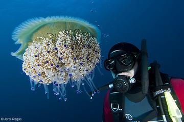 És una medusa que puede alcanzar tamaños bastante grandes