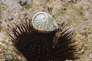 La concha vacía encima de un erizo