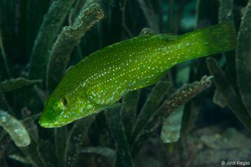 Juvenil, que a menudo se confunde con Labrus viridis cuando es joven