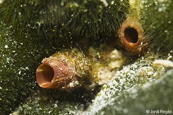 Microcosmus cf polymorphus