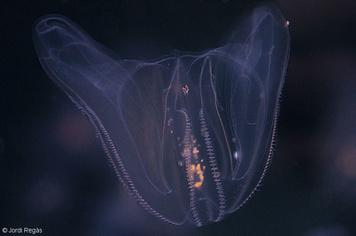 09. Ctenophores