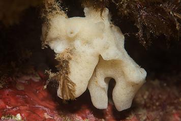 Paraleucilla magna