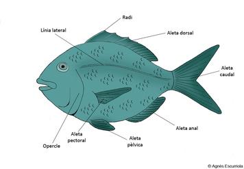 · Peix òssi