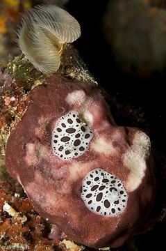Sobre Petrosia ficiformis, su alimento preferido
