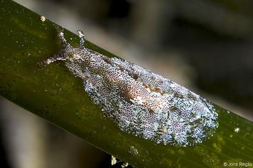 Petalifera petalifera