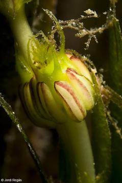 Detalle de los pistilos de la flor de la Posidonia