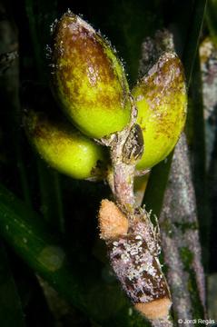 El fruto de la Posidonia