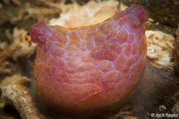 Pyura squamulosa
