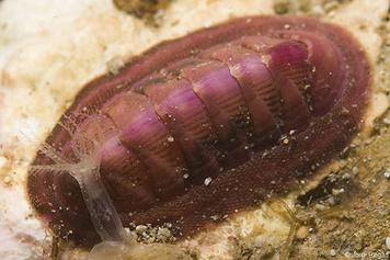 Rhyssoplax corallina