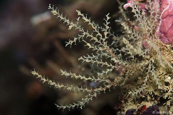 Sertularella mediterranea