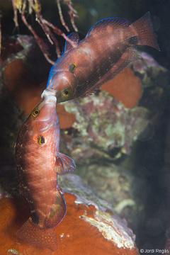 Lucha entre machos durante la fase de reproducció