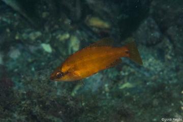 S. ocellatus en fase naranja