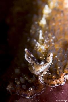 Detalle de los tentáculos cefálicos