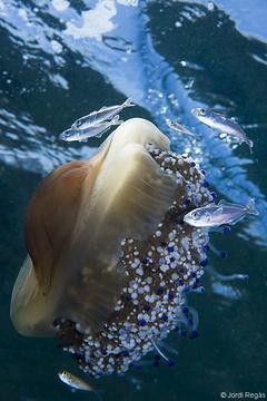 Los alevines de jurel a menudo acompañan medusas como Cotylorhiza tuberculata