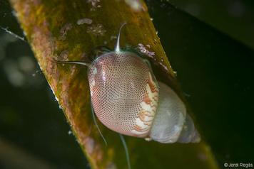 Tricolia speciosa