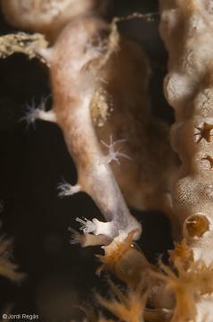 Un individuo se abalanza sobre un pólipo de coral