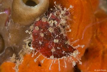 Walkeria tuberosa